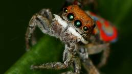 Maratus pavonis male, peacock spider, fulbright